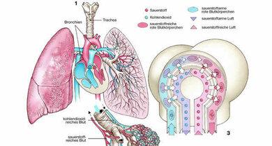 In den Lungenbläschen wird das sauerstoffarme Blut wieder mit dem lebensnotwendigen Stoff angereichert