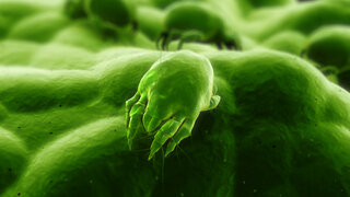 Hausstaubmilbe als Allergieauslöser