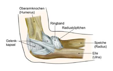 Das Ellenbogengelenk: Am Ende der Speiche befindet sich das Radiusköpfchen. Es wird vom Ringband gehalten