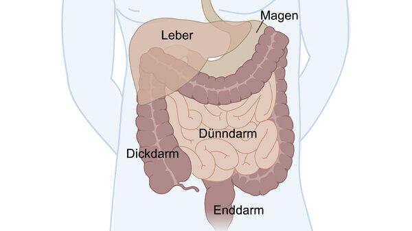 Anatomie des Darms Schematische Darstellung