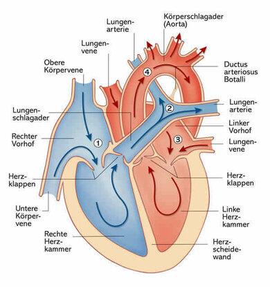 Aufbau des Herzens
