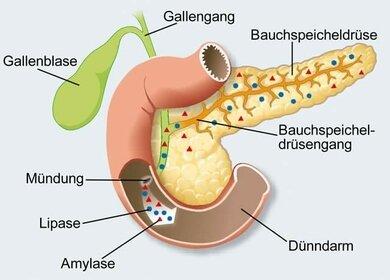 Amylase und Lipase gehören zu den Verdauungsenzymen aus der Bauchspeicheldrüse