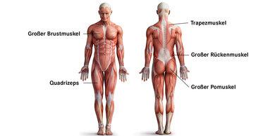 Ganz schön viele: Über 650 Muskeln hat der Mensch