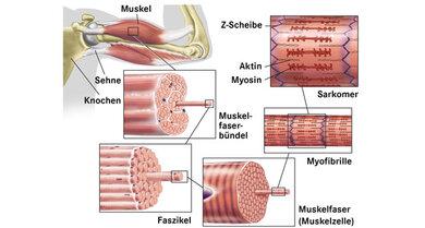 Von Faser bis Sarkomer: So ist ein Muskel aufgebaut