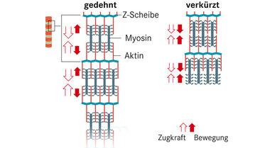 Die Myosinköpfchen kippen ab und schieben Aktin und Myosin quasi ineinander - der Muskel verkürzt sich