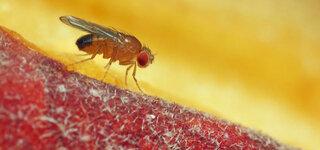 Wie schädlich sind Fruchtfliegen und was hilft dagegen?