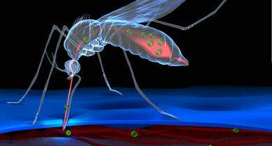 Das Zikavirus (hier grün dargestellt) wird hauptsächlich durch den Stich infizierter Stechmücken übertragen
