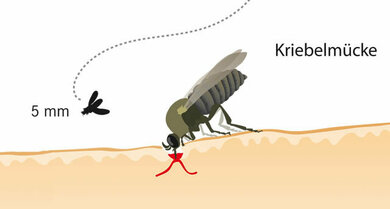 Mensch kriebelmückenstich Kriebelmücken