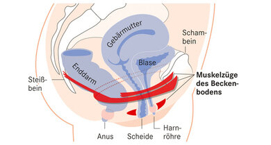 Die Beckenbodenmuskulatur besteht im Wesentlichen aus drei Schichten
