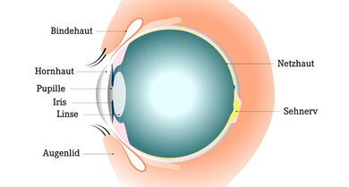 So ist das Auge aufgebaut: Die Bindehaut ist innen am Augenlid und auf dem weißen Augapfel.
