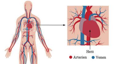 Der Blutkreislauf: Das Herz pumpt das Blut in Arterien. Über Venen fließt es zum Körper zurück.