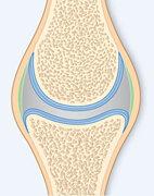 Gesundes Gelenk mit glattem Knorpel (blau)