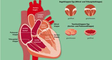 Eine Pumpe, vier Ventile: Das Herz wird oft mit einer Pumpe verglichen. Seine Klappen sind so wichtig, weil sie sich wie Ventile öffnen und schließen. So stellen sie sicher, dass das Blut nur in eine Richtung fließt
