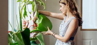 Frau gießt ihre Zimmerpflanzen