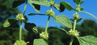 Andorn (Marrubium vulgare)