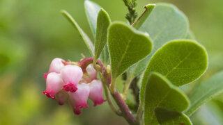 Bärentraubenblätter (Arctostaphylos uva-ursi)