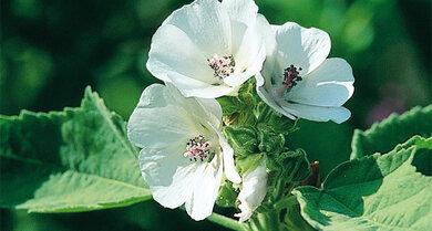 Eibisch (Althaea officinalis)