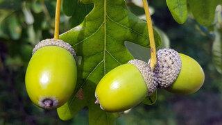 Eiche (Quercus robur)
