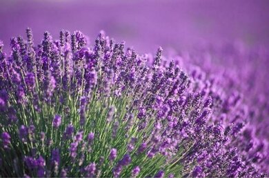 Lavendel (Lavandula augustifolia)
