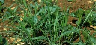 Quecke (Elymus Repens)