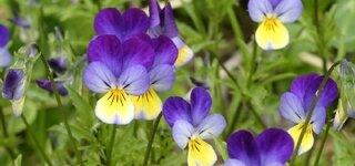 Wildes Stiefmütterchen, Veilchen (Viola tricolor)