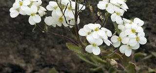 Bittere Schleifenblume (iberis amara)