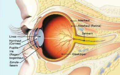 Aufbau des Auges (schematisch)