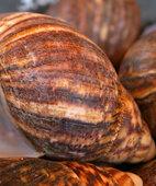 Zwischenwirt: Die Schistosomen leben auch in solchen Süßwasserschnecken