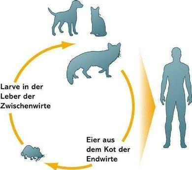 Lebenzyklus von Fuchs- und Hundebandwurm