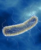 Der häufigste Auslöser für Blasenentzündungen: Escherichia coli