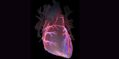 Die Koronargefäße versorgen das Herz mit Blut