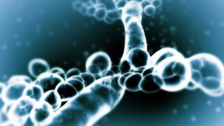 Candida albicans unter dem Rasterelektronenmikroskop