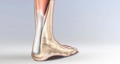 Vom Wadenmuskel zieht sie bis in das Fersenbein: die Achillessehne