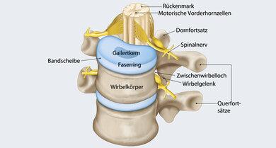 Engste Nachbarn: Bandscheibe, Rückenmark, Wurzeln der Rückenmarksnerven, Zwischenwirbelloch, Wirbelgelenk (schematisch)
