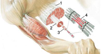 So ist der Muskel (1) aufgebaut: Faserbündel (2), Muskelfaser (3), Myofibrille mit Sarkomer (4)