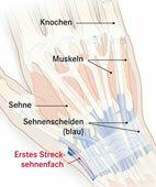 Sehnenscheiden an der Streckseite des Handgelenks