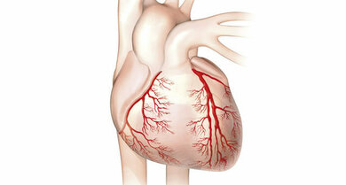 Versorger des Herzens: Die Herzkranzgefäße