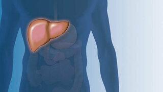 Leber: Menschlicher Torso mit Organen
