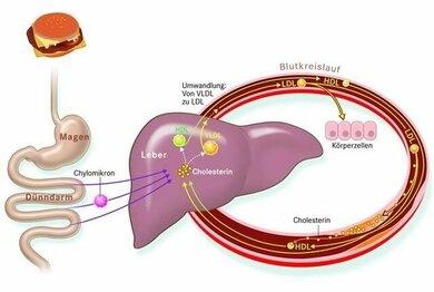 Chylomikronen transportieren Cholesterin vom Darm in die Leber. Von dort erreicht es an LDL gebunden die restlichen Zellen des Körpers, reichert sich aber auch manchmal an den Gefäßwänden an (rechts unten im Kreislauf dargestellt). HDL befördert das Cholesterin eher zur Leber zurück