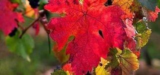Heilpflanze roter Wein