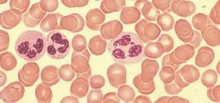 Leukozyten: Weiße Blutkörperchen