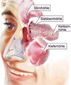 Auch die Nasennebenhöhlen spielen bei Schnupfen eine wichtige Rolle