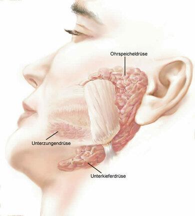 Kopfspeicheldrüsen (hier auf der linken Kopfseite)