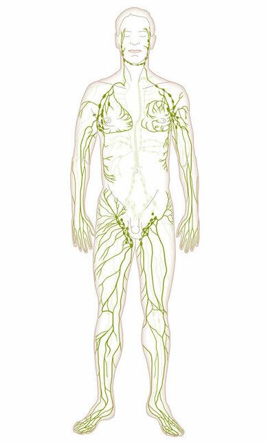 Lymphgefäße sind gut vernetzt