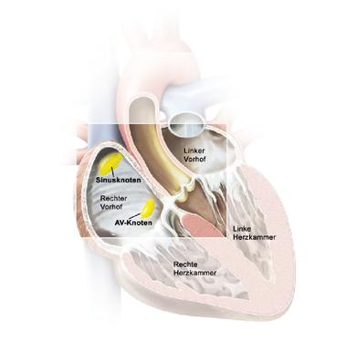 Lage des AV-Knotens im Herzen