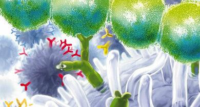 Streptokokken (oberer Bildrand): Die Keime können auch Gelenkentzündungen und Knieschmerzen verursachen