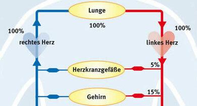 Blutverteilung im Körper (schematisch)