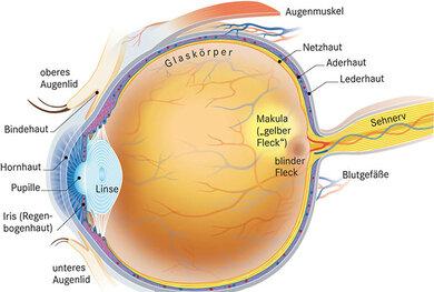 """Die Nervenfasern der Netzhaut bündeln sich an der Papille (""""blinder Fleck"""") zum Sehnerv. Er schickt die optischen Signale ans Gehirn"""