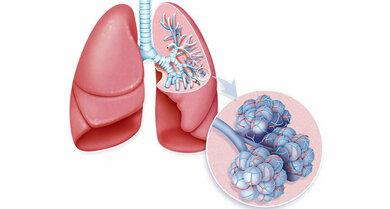 Über die Lungenbläschen und die verbundenen Gefäße findet der Gasaustausch statt