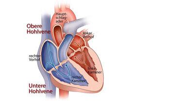 Einblick ins Herz (anatomisch, schematisch)